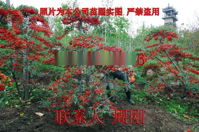 苏州造型火棘 造型红果基地 火棘盆景 庭院景观树892930035