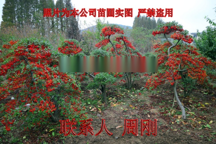 蘇州火棘造型樹基地 造型紅果苗圃  吉祥果滿堂紅899691465