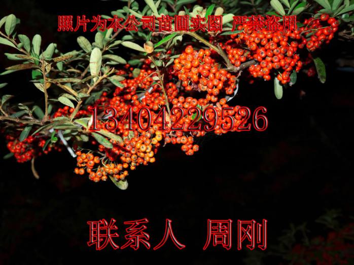 苏州火棘造型树基地 造型红果苗圃  吉祥果满堂红899691475