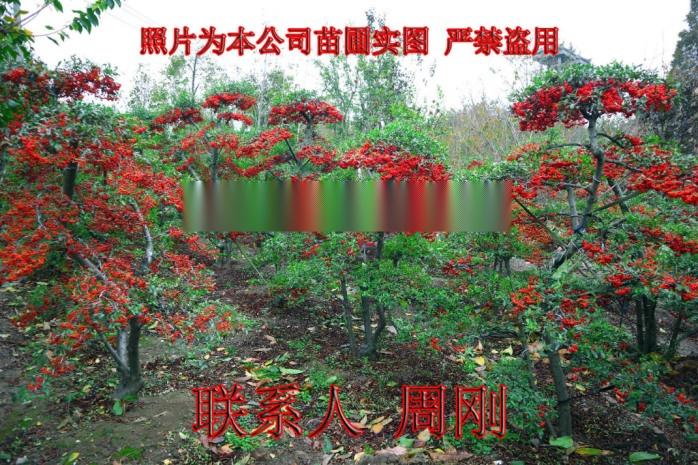 蘇州火棘造型樹基地 造型紅果苗圃  吉祥果滿堂紅899691485