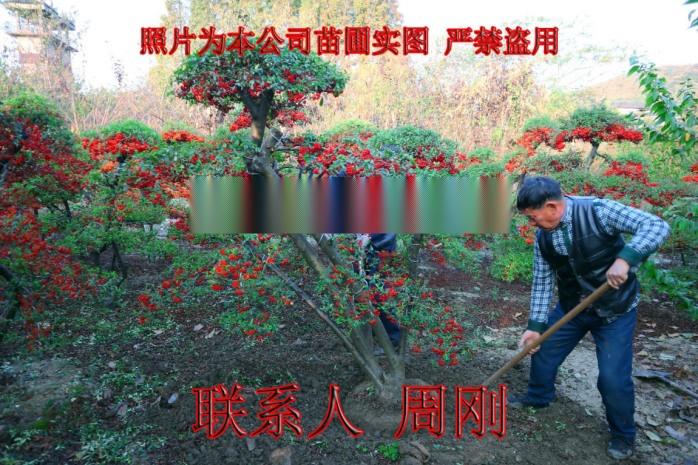 苏州火棘造型树基地 造型红果苗圃  吉祥果满堂红899691495