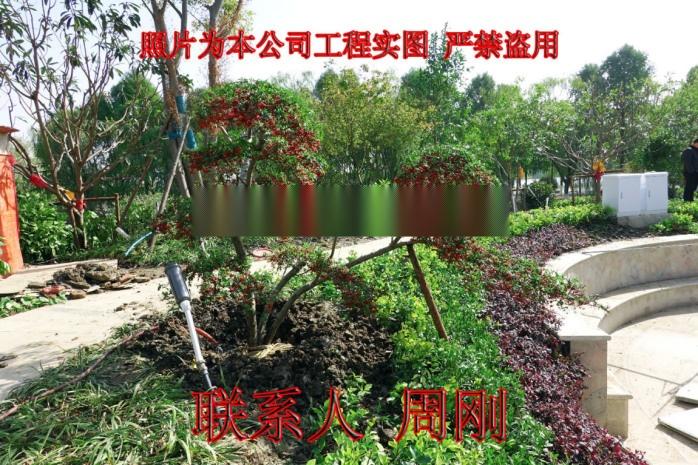 蘇州火棘造型樹基地 造型紅果苗圃  吉祥果滿堂紅899691505