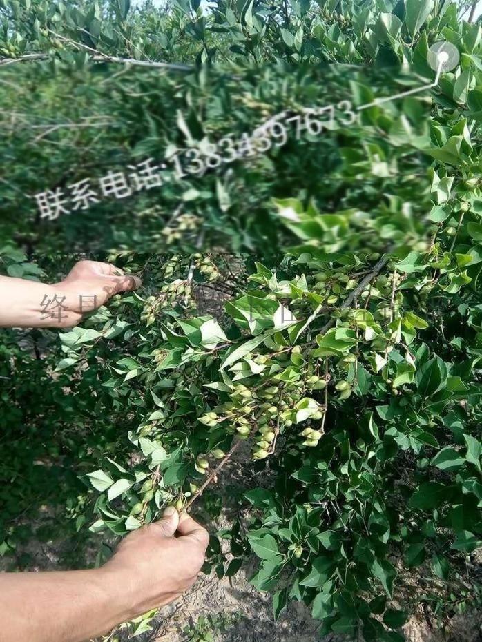 绛县2年连翘苗  山西2年连翘苗正在预定95918432